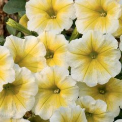 Yellow-Petunia.jpg