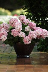 Allure-Picotee-Pink-Geranium.jpg