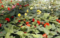Begonia_Flats.jpg