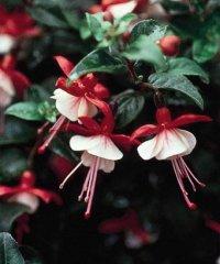 Fuchsia2.jpg