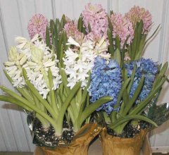 Hyacinth_Muliticolor.jpg