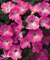 Pink_Petunia.jpg