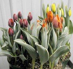 Tulip_Muliticolor.jpg