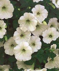 White_Petunia.jpg