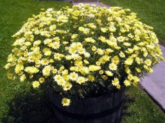 Half_Barrel_Daisies2.jpg